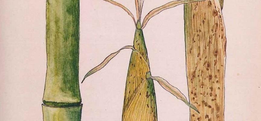 Croquis de bambou par Jean Houzeau, collection privée de la famille Houzeau de Lehaie.