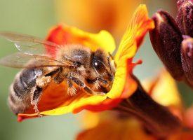 Les abeilles, thermomètres de la planète