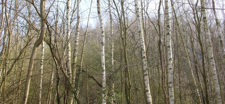 Le bouleau, l'arbre du terril par excellence.