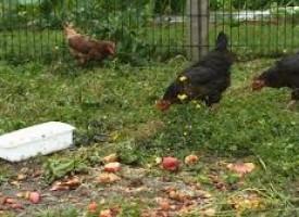 Des poules et des moutons pour manger vos déchets