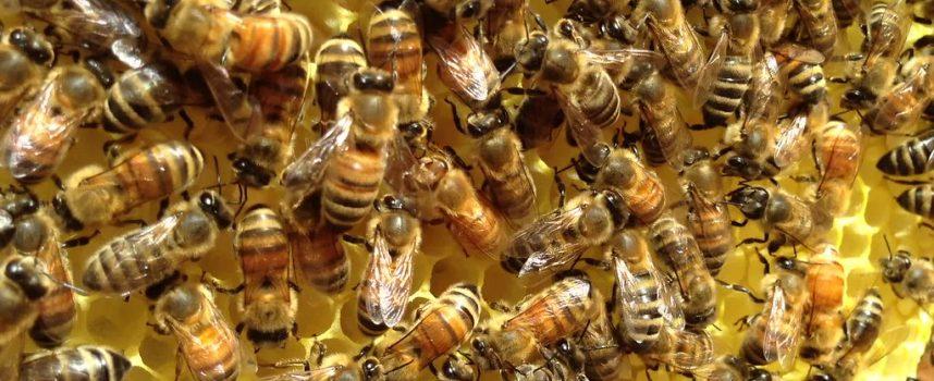 La danse des abeilles